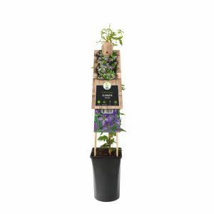 Blauwe bosrank (Clematis viticella) klimplant