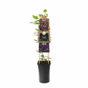 "Paarse bosrank (Clematis viticella Polish Spirit"") klimplant"