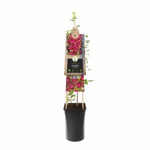 Rode bosrank (Clematis viticella Rubra) klimplant
