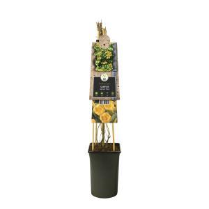 "Gele trompetbloem (Campsis radicans Flava"") klimplant"