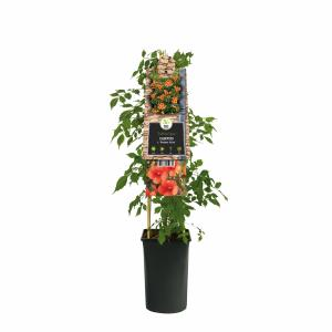 Oranje trompetbloem (Campsis tagliabuana Madame Galen) klimplant - 70 cm - 1 stuks