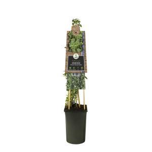 Grootbladige kardinaalsmuts (Euonymus fortunei Emerald Gaiety) klimplant