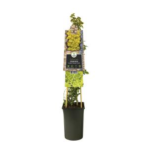 Kleinbladige kardinaalsmuts (Euonymus fortunei Emerald 'n Gold) klimplant