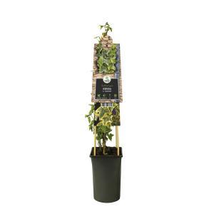 Geelbonte klimop (Hedera helix Goldchild) klimplant