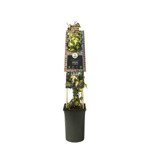 Bonte klimop (Hedera helix Goldheart) klimplant