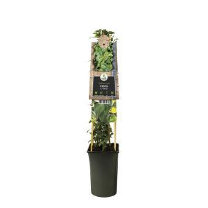 Klimop (Hedera Helix Natasja) klimplant