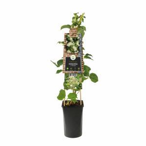 Klimhortensia (Hydrangea anomala Petiolaris) klimplant - 70 cm - 1 stuks