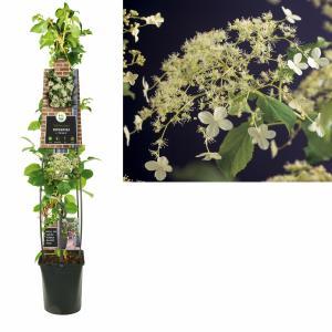 Klimhortensia (Hydrangea anomala Petiolaris) klimplant - 120 cm - 1 stuks