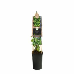 Hop (Humulus lupulus) klimplant