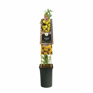 Winterjasmijn (Jasminum nudiflorum) klimplant