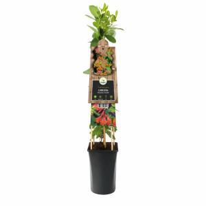 Oranjerode kamperfoelie (Lonicera Dropmore Scarlet) klimplant