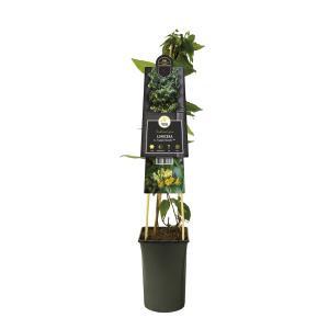 """Gele kamperfoelie (Lonicera Henryi """"Copper Beauty"""" PBR) klimplant"""