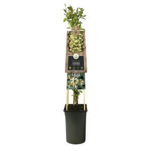 Japanse kamperfoelie (Lonicera Japonica Hall's Prolific) klimplant
