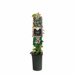 Japanse kamperfoelie (Lonicera Japonica Red World) klimplant