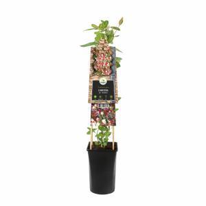 Wilde kamperfoelie rood (Lonicera periclymenum Serotina) klimplant