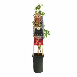 Wilde wingerd (Parthenocissus Engelmannii) klimplant