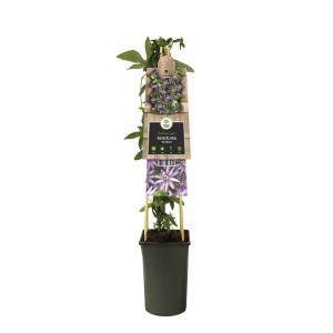 Paarse passiebloem (Passiflora Amethyst) klimplant