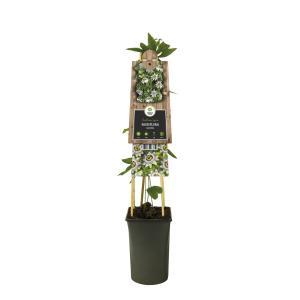 Blauwe passiebloem (Passiflora Caerulea) klimplant