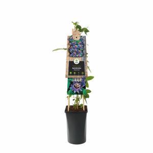 Paarse passiebloem (Passiflora Purple Haze) klimplant
