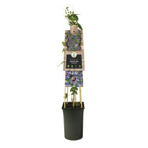 Paarse passiebloem (Passiflora Purple Rain) klimplant