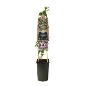 Lila passiebloem (Passiflora Victoria) klimplant