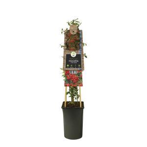 Vuurdoorn (Pyracantha coccinea Red Column) klimplant