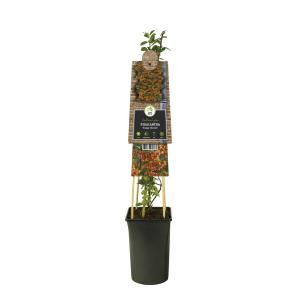 "Vuurdoorn (Pyracantha ""Orange Charmer"") klimplant"