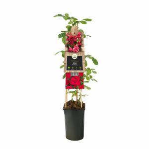 Klimroos (Rosa Heidelberg) klimplant