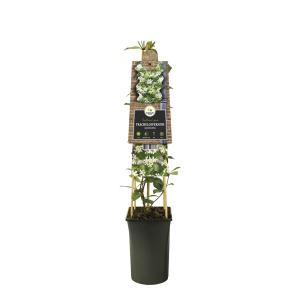 Toscaanse jasmijn (Trachelospermum jasminoides) klimplant