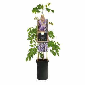 Blauweregen (Wisteria Sinensis) klimplant
