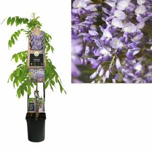 Blauweregen (Wisteria Sinensis Prolific) klimplant - 120 cm - 1 stuks