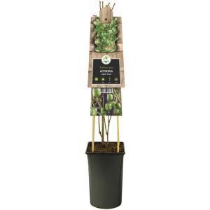"""Mini kiwi (Actinidia arguta Issai"""") klimplant"""