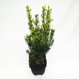 Taxus (Taxus media Hillii) conifeer