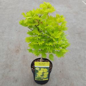 Japanse esdoorn (Acer shirasawanum Aureum) heester - 25-30 cm - 1 stuks