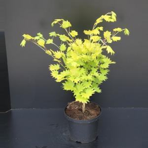 Japanse esdoorn (Acer shirasawanum Aureum) heester - 40-50 cm - 1 stuks