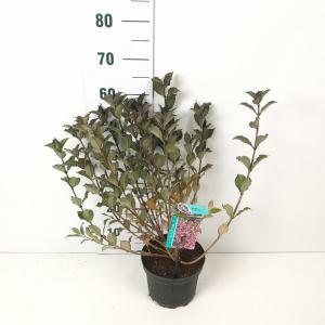 Weigela Florida struik Foliis Purpureis - 40 - 50 cm - 7 stuks