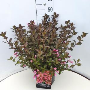 Weigela Florida struik Foliis Purpureis - 60 - 80 cm - 5 stuks