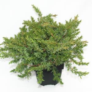 Kruipende jeneverbes (Juniperus conferta Schlager) conifeer