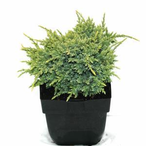 Jeneverbes (Juniperus squamata Holger) conifeer