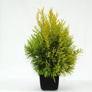 Reuzenlevensboom (Thuja plicata 4ever Goldy) conifeer