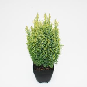 Schijncipres (Chamaecyparis lawsoniana Ellwoodii Gold) conifeer