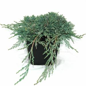 Kruipende jeneverbes (Juniperus horizontalis Ice Blue) conifeer
