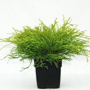 Schijncipres (Chamaecyparis pisifera Filifera Aurea) conifeer