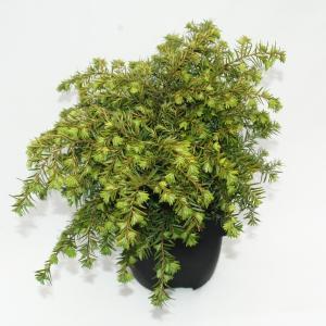 Hemlockspar (Tsuga Canadensis Nana) conifeer