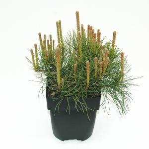 "Bergden (Pinus mugo ""Mughus"") conifeer"
