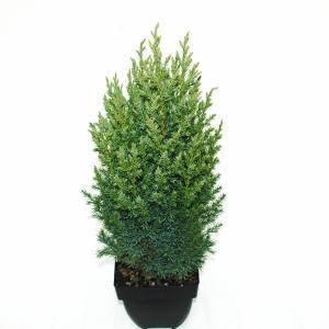 Chinese jeneverbes (Juniperus Chinensis Stricta) conifeer