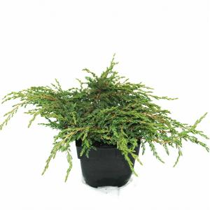 Kruipende jeneverbes (Juniperus communis Repanda) conifeer