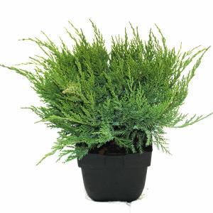 Jeneverbes (Juniperus media Mint Julep) conifeer