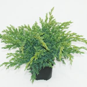 Jeneverbes (Juniperus squamata Blue Swede) conifeer