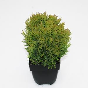 Westerse levensboom (Thuja occidentalis Danica) conifeer